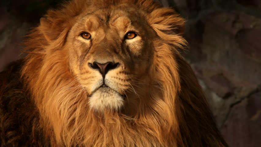 8k Animal Wallpaper Download: The Golden Head Of Lion In Sunset Light On Dark Rocky