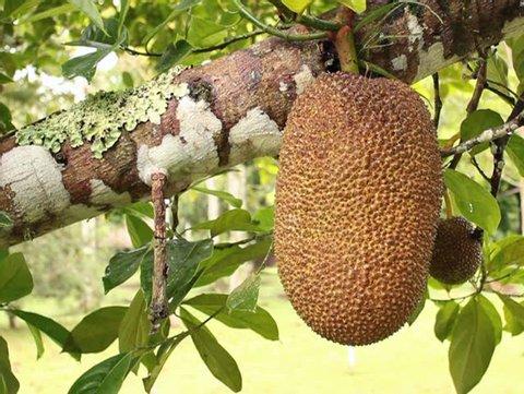 Soursop or Guanabana (Annona muricata)