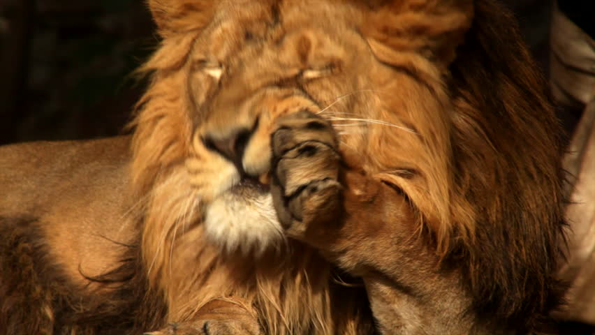 8k Animal Wallpaper Download: Sunlit Asian Lion Close Up, Licking His Mighty Paws And