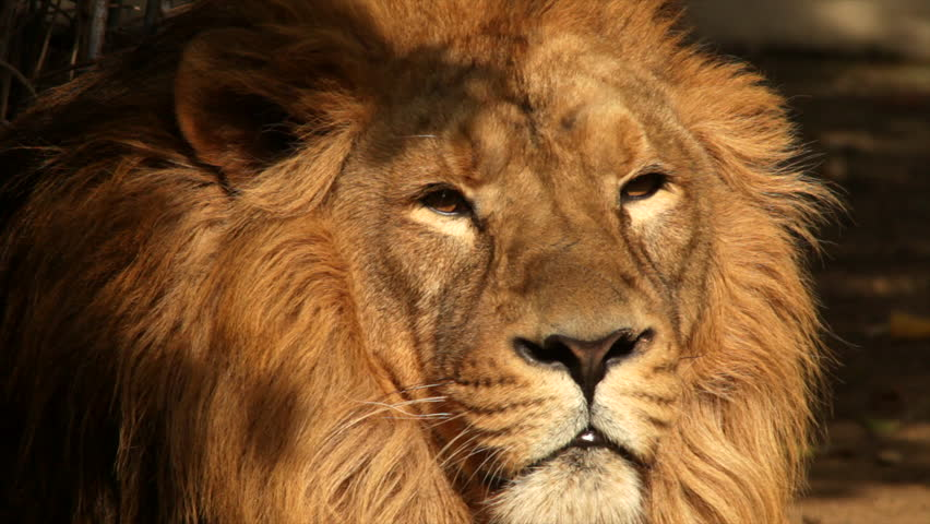 Sunny face of an Asian lion on shadow background, falling asleep. King of beasts, the biggest cat of the world, horoscope symbol close up. Amazing beauty of the wildlife in the HD footage.  #8135665