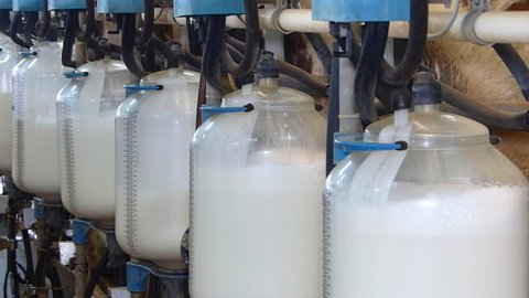Filling bottles with milk. Milking cows on farm, working with dairy equipment