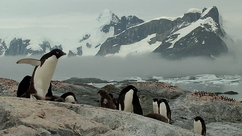 Penguin Adelie colony with snowy mountains at the background