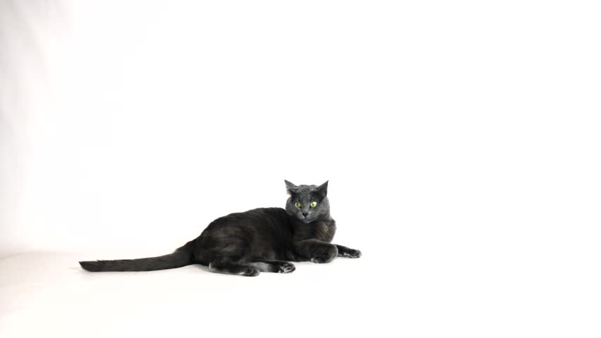 Cat relaxing and facing camera, looks at the camera, sits then walks away, Russian Blue cat walking, curious cat