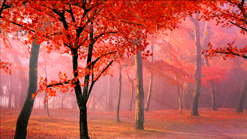 red maple leaves falling from the trees in autumn/fall morning,