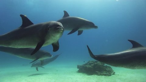 dolphins playing in the blue, red sea
