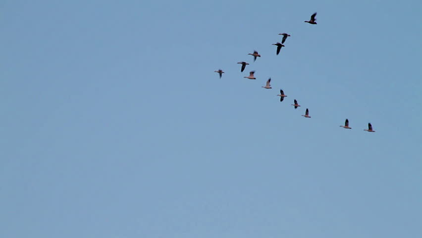 Water Fowl flying in formation.