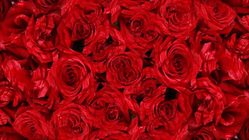 Rose background stock footage video 124663 shutterstock - Pics of red roses in hd ...