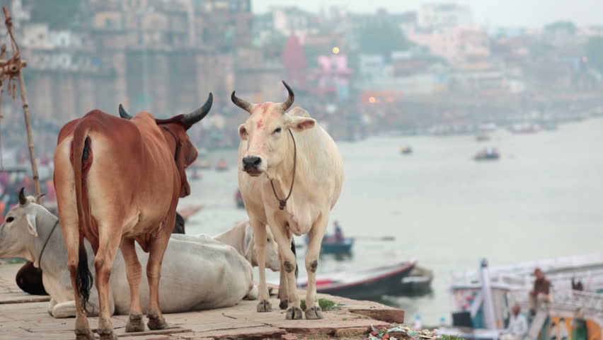 Cows standing and sitting of the ghats of Varanasi