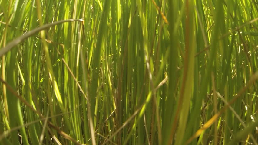 Panning view of a young green rice field at slow motion