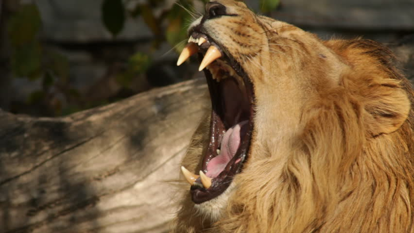 The yawning head of a lion on fallen tree background. The biggest cat of the world, horoscope and zodiac symbol close up in profile. Amazing beauty of the wildlife in the excellent HD footage.