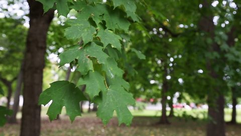 A close look at the leaves of a Sugar Maple tree.