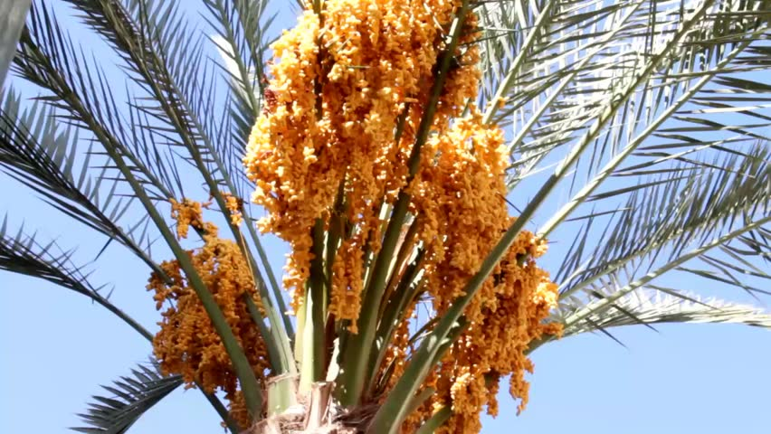 A palm tree with dates it is a flowering plant cultivated for its date palm tree with yellow fruits on blue sky background hd stock footage clip mightylinksfo Gallery