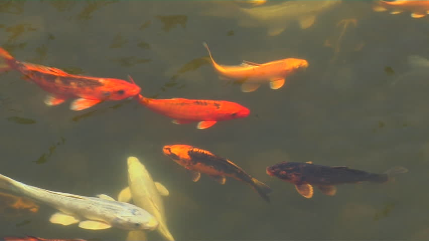 Japanese koi fish in the pond stock footage video 14943475 for Koi fish to pond ratio