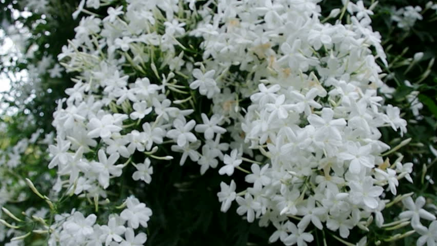Jasmine flowers - beautiful jasmin flowers in bloom.