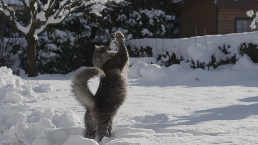 SLOW MOTION: Playful grey cat catching a snowball in winter