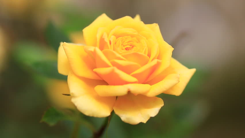 Natural Yellow Roses Background Stock Footage Video 100