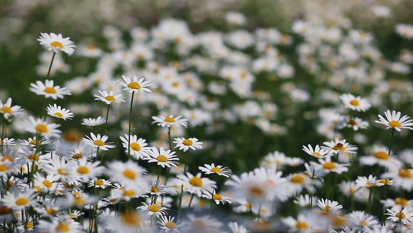 Summer Field with White Daisies  Stock Footage Video (100% Royalty-free)  8669725 | Shutterstock