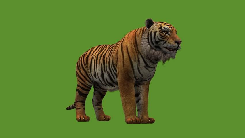 Tiger open mouth roar,wildlife animals habitat.stripes pattern. cg_02064