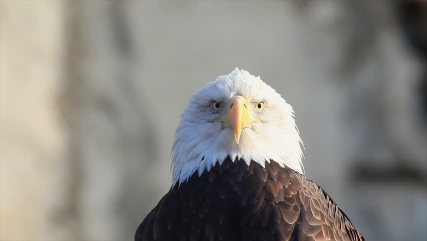 Severe look of expressive bald eagle close up, haliaeetus leucocephalus, sitting on blur gray rocky background. American eagle, US national character. Excellent beauty of wildlife in amazing HD clip. | Shutterstock HD Video #8779705