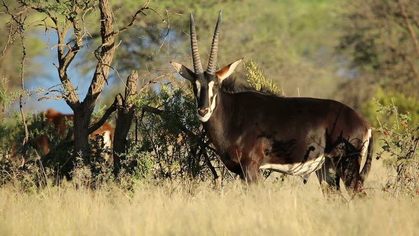 Male sable antelope (Hippotragus niger) in natural habitat, South Africa