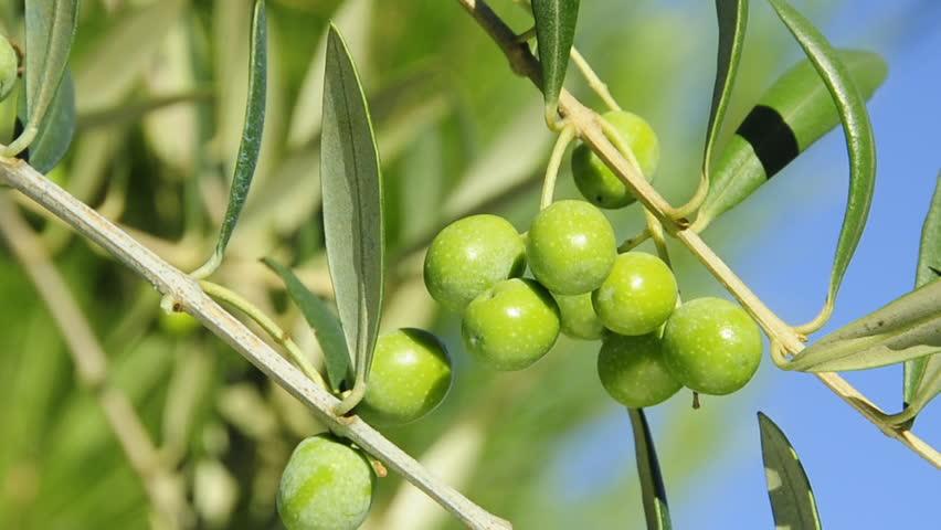 vhrs_olive