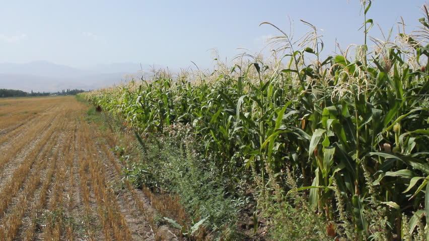 Как сажают кукурузу в поле 548