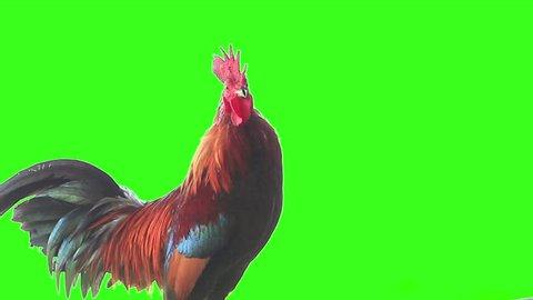 Bantam rooster crows at Chiang Mai Thailand, green screen 1920x1080
