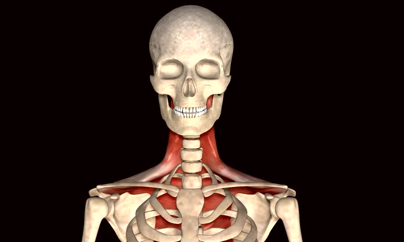 human body total muscle stock footage video 8954086 - shutterstock, Muscles