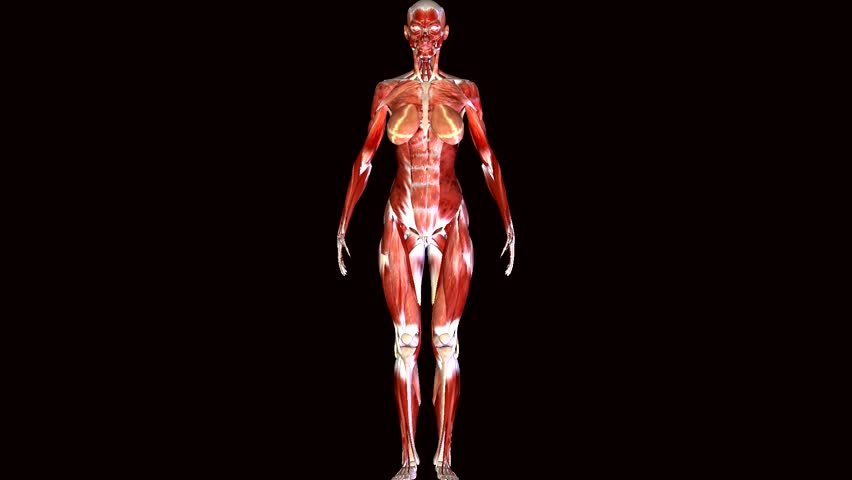 female muscular system stock footage video 8974825 | shutterstock, Muscles