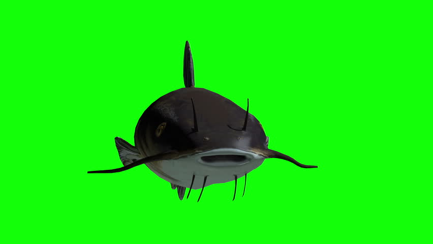 Animated catfish with green screen. 3D rendering #8966035