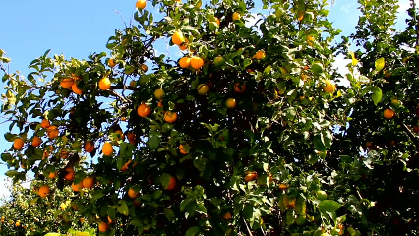 Lemon tree with leaves and fruits on blue sky background | Shutterstock HD Video #8968915