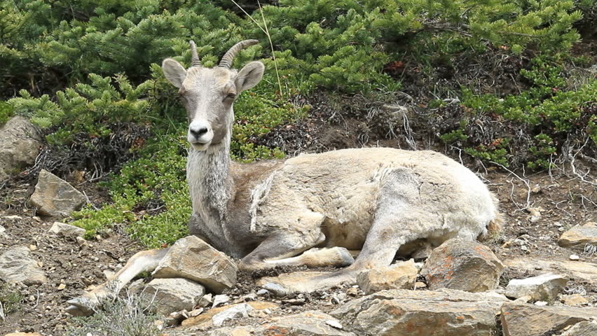 Female Bighorn sheep ewe laying high on a rocky mountain cliff. Calmly watching. Shaggy hair from early summer shedding.