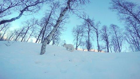 Arctic fox running around in the snowy winter landscape