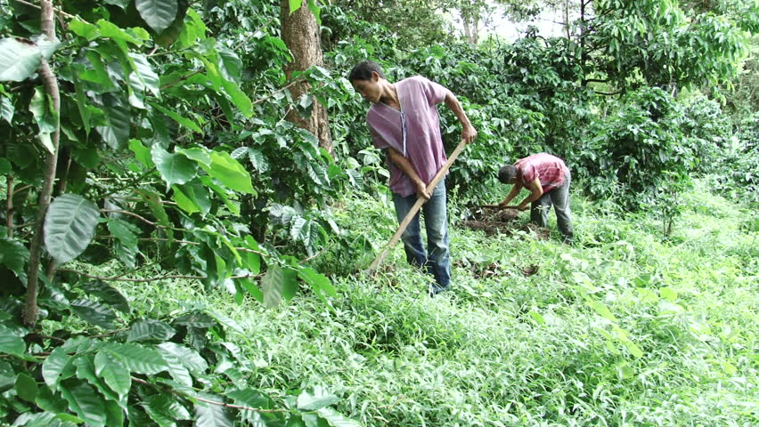 the working conditions of coffee farmers Some products, such as coffee, cocoa, and cotton, can only be certified by fairtrade if they come from small-scale farmer organizations by working through democratic organizations of small-scale farmers, fairtrade offers rural communities the stability of income which enables them to plan for the future and invest in developing their.