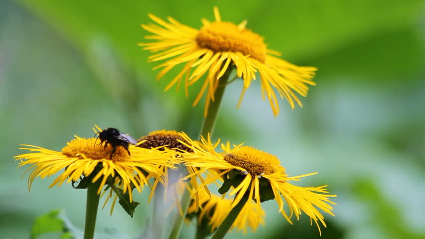 Bees pollinating yellow wild flowers