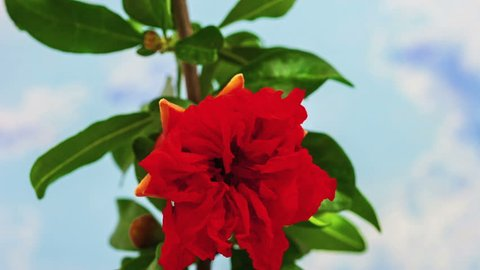 Hd 1080p macro time lapse video of a pomegranate tree flower (Punica granatum) growing and blossoming on a sky blue background/Pomegranate tree flower blooming macro timelapse
