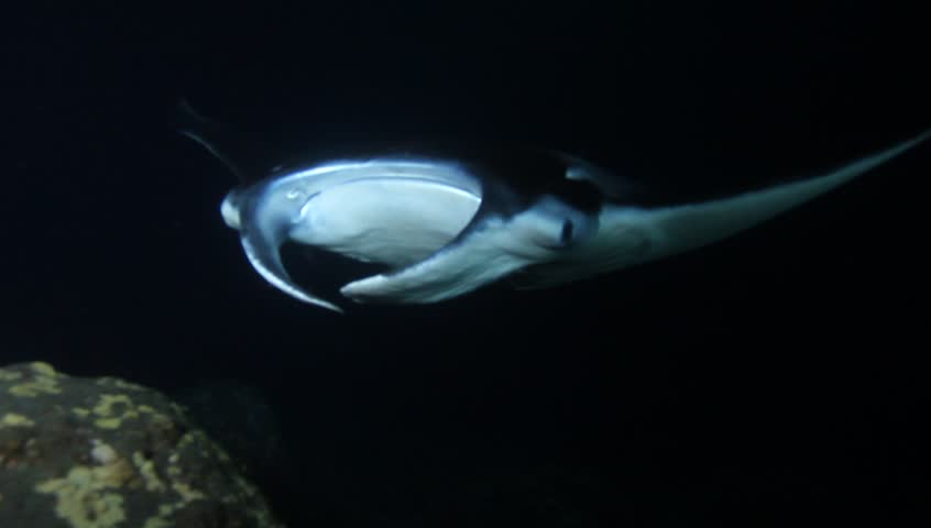 Mantas are not afraid of divers off the coast of Hawaii's Kona. This night dive made it possible to get up close to these amazing fish.