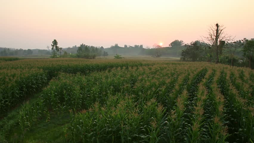 The corn field with the sunrise in the morning. | Shutterstock HD Video #9205715