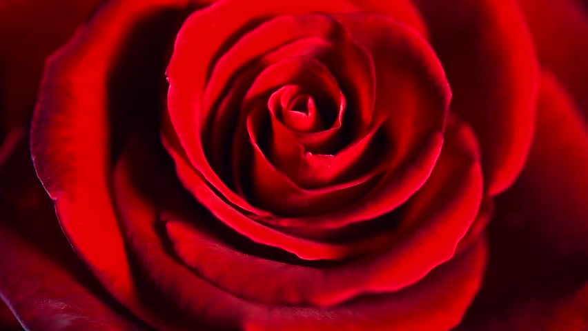 Red Rose Flower Close Up Stock Footage Video 100 Royalty Free