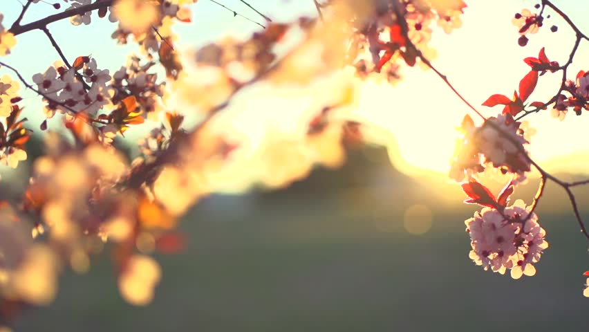 Spring blossom background. Beautiful nature scene with blooming tree and sun flare. Sunny day. Spring flowers. Beautiful Orchard. Abstract blurred background. Springtime. HD 1080p, slow motion