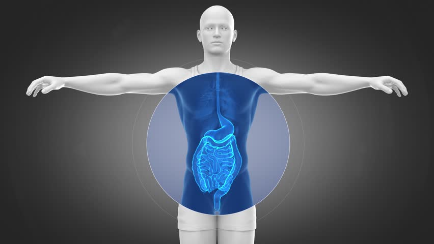 Digestive system with stomach in loop