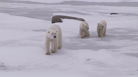 Polar bear with cubs walking on ice, Churchill, Manitoba, Canada