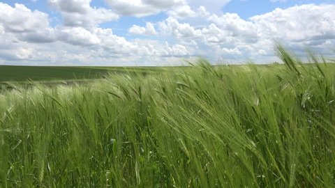 4k Wheat Field in Breeze on Cloudy Sky, Cereals Crop, Agriculture Land, Farming View, Nature Background, Barley Ears, Cereals Swinging on a Windy Day, Landscape