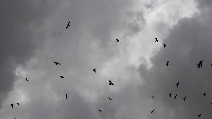 4K Flock of Crows Flying on Cloudy Sky, Ravens in Flight, Birds in Air