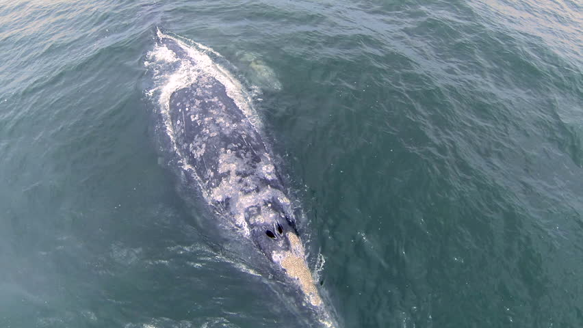 Gray Whales mother and calf surfacing blows you away in this top overhead straight down aerial drone ascent footage shot transitions from close water level to wide high above ocean