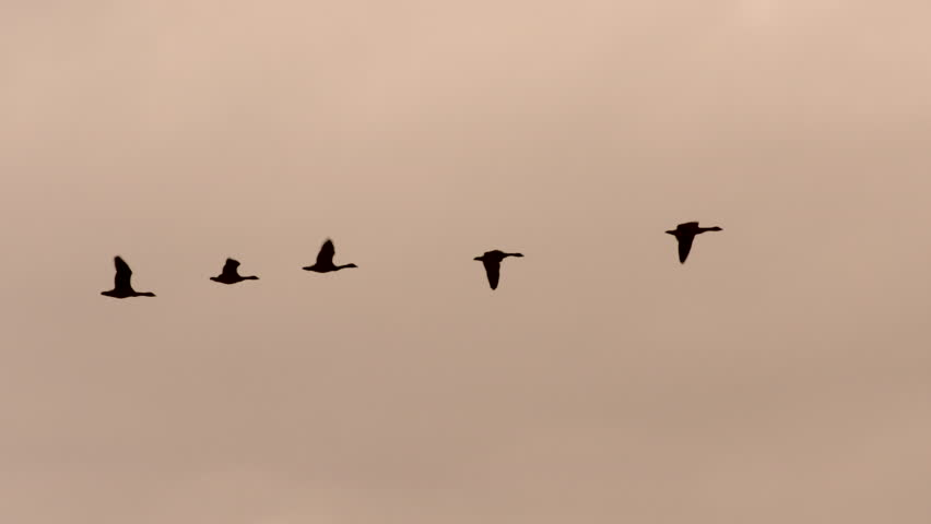 Canada geese flying in formation at sunset