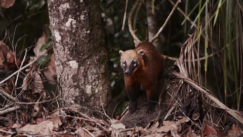 A curious South American coati (Nasua nasua), also known as ring-tailed coati, sniffs its environment.