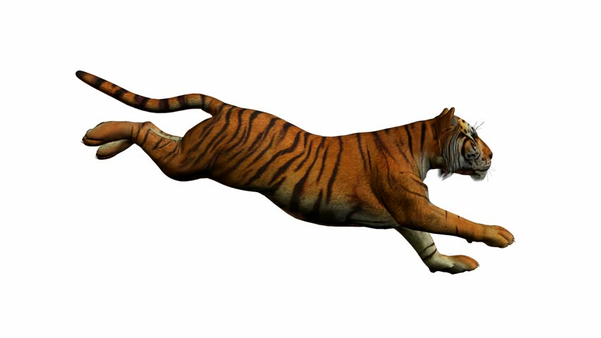 Tiger running on a white background