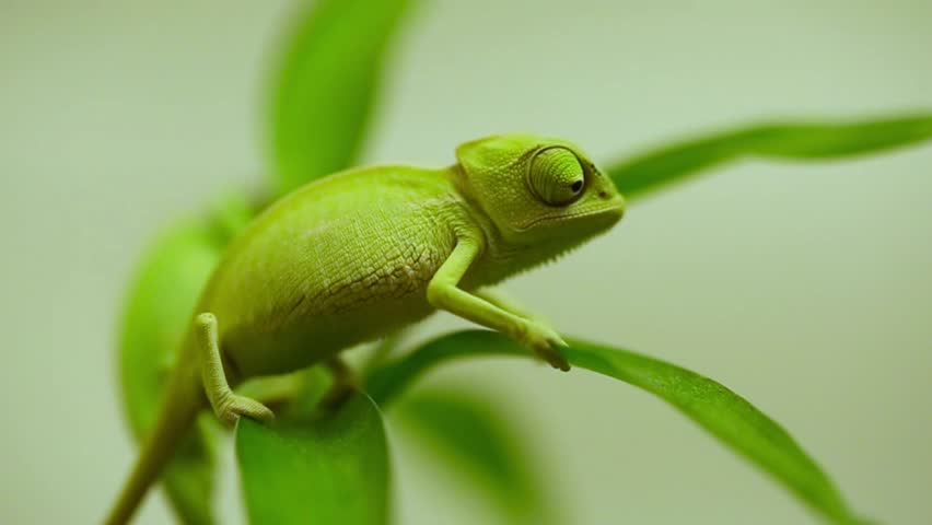Closeup of a baby green chameleon