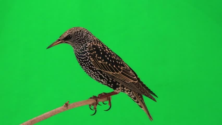 Starling on  green screen | Shutterstock HD Video #9543848